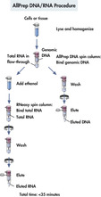 AllPrep DNA/RNA procedure.